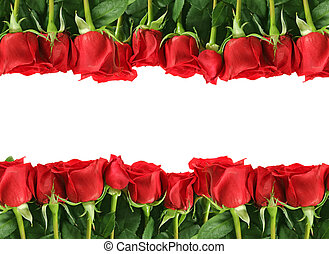 rosas, branca, filas, vermelho