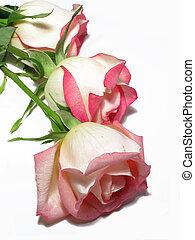 rosas, branca, três