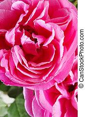 rosas, cor-de-rosa