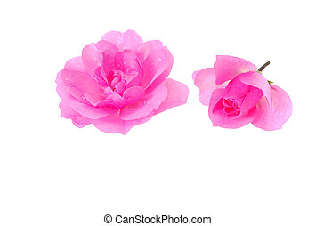 rosas cor-de-rosa, branca, dois