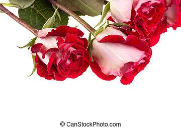 rosas cor-de-rosa, branca, isolado
