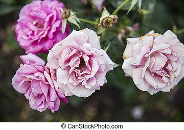 rosas cor-de-rosa, cima fim