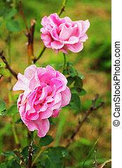 rosas cor-de-rosa, flores, -
