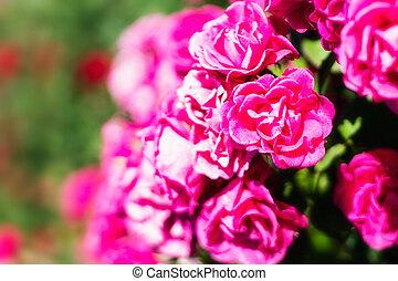 rosas cor-de-rosa, flores, fundo