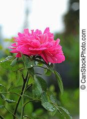 rosas cor-de-rosa, flowers., -