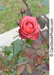 rosas cor-de-rosa