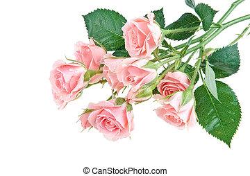 rosas cor-de-rosa, molhados