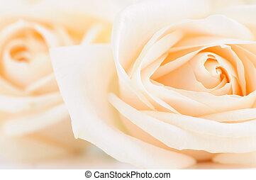 rosas, delicado, bege