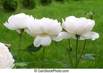 rosas, en, el, brisa