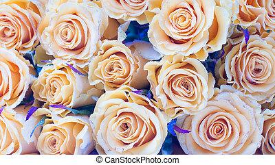 rosas, experiência bege, closeup