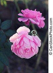 rosas, flor, en, hermoso, en, el, nature.