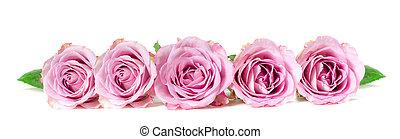 rosas, panorâmico, imagem, isolado, experiência., branca, fila