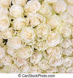 rosas, resumen, fondo blanco