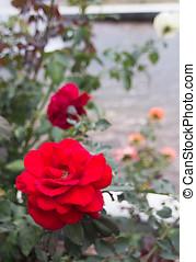 rosas rojas, flor, en, jardín, en, el, norte, de, tailandia