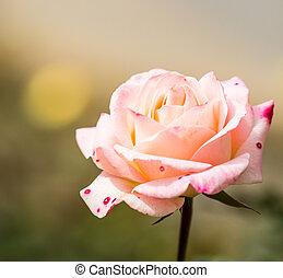rosas rosa, natural, plano de fondo