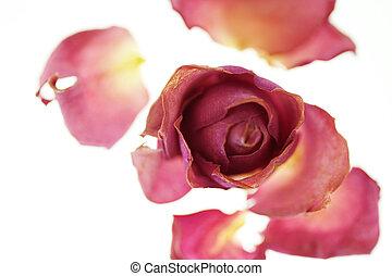 rosas, secado