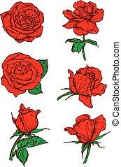rosas vermelhas, brotos, icons., flor, esboço, emblema