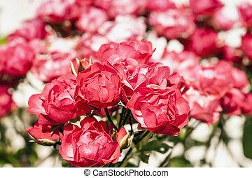 rosas, vermelho, foto