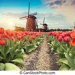 rose, éoliennes, pays-bas, canal, tulipes, hollandais, vibrant, long