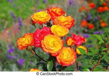 rose, 01, rumba