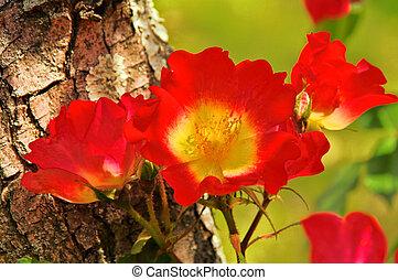 rose, 01, tronc arbre