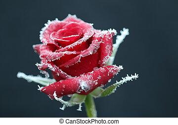 rose, 3, glacial