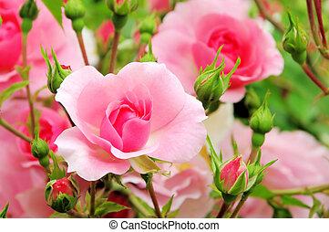 Rose 43