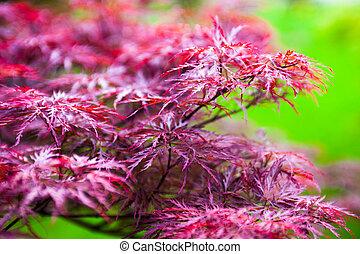 rose, (acer, palmatum), feuilles, érable japonais