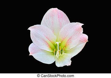 Rose amaryllis fleurs isol rose entiers amaryllis for Amaryllis rose