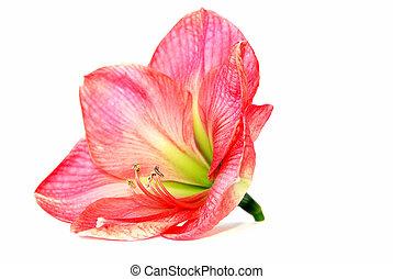 rose, amaryllis