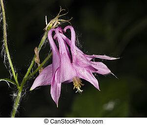 rose, ancolie, fleur, aquilegia, peu profond, dof, vulgaris, foyer, sélectif, commun, gros plan, ou, européen