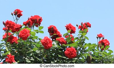 rose and blue sky - I took  roses backed by a blue sky.