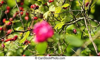 rose and rose hips