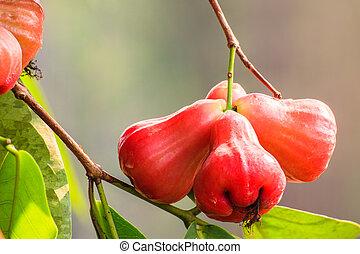 Rose apples on a tree