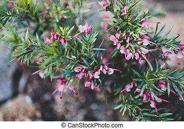 rose, arrière-cour, plante, ensoleillé, indigène, grevillea, extérieur, australien