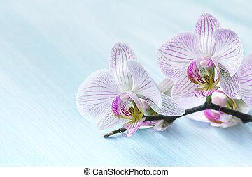 rose, arrière-plan bleu, orchidée