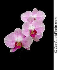 rose, arrière-plan noir, orchidées