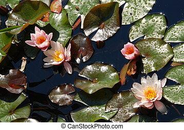 rose, arrosez lilly