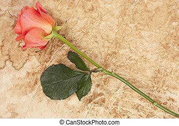 rose, auf, pergament