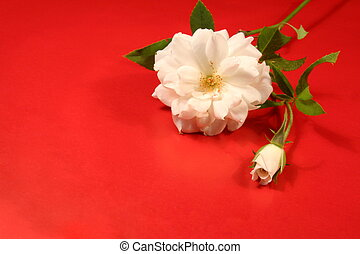 White rose and rosebud on red wrapping paper.