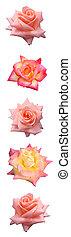 rose, barre, vertical