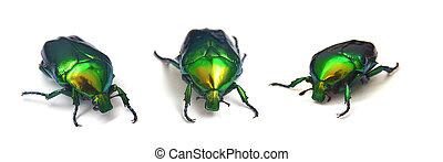 rose beetle, cetonia aurata isolated on white