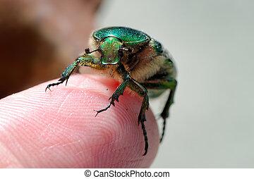 Rose beetle on finger