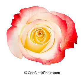 rose, bicolored, blanc