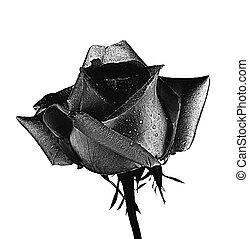 rose, blanc, arrière-plan noir