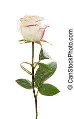 rose, blanc, bi-color, fond