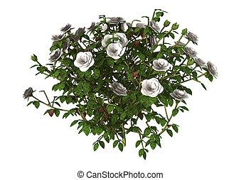 rose, blanc, buisson