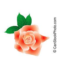 rose, blanc, isolé, fond