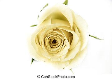 rose, blanc, pétales