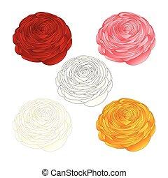 rose, blanc, rouges, jaune, ranunculus, outline., fleur